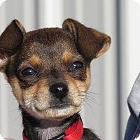 Adopt A Pet :: Chaos - Meridian, ID
