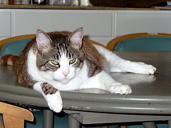 Domestic Shorthair Cat for adoption in Naples, Florida - Riley