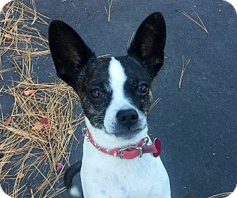 Boston Terrier Mix Dog for adoption in Bend, Oregon - Lacey - Smart & Sweet