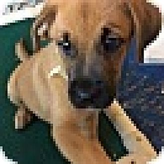 """Labrador Retriever/Black Mouth Cur Mix Puppy for adoption in Southbury, Connecticut - Lana - """"L"""" Litter"""