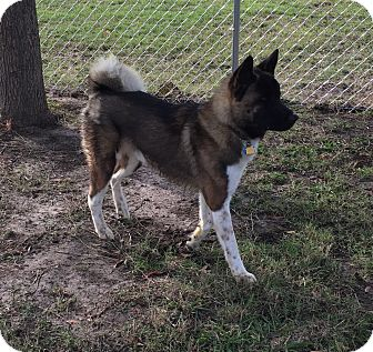 Akita Mix Dog for adoption in Kaufman, Texas - Apollo