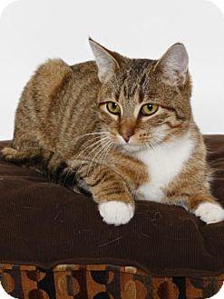 Domestic Shorthair Cat for adoption in Gloucester, Virginia - ZIPPY