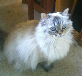 Himalayan Cat for adoption in Richmond Hill, Ontario - Sherry (Bonded to Kahlua)