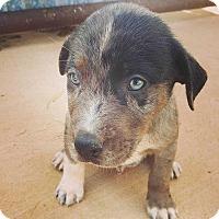 Adopt A Pet :: Catahoula/Lab Mix Male #2 - Smokey - Crosbyton, TX