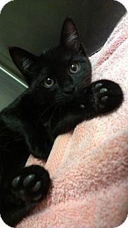 Domestic Shorthair Cat for adoption in Richboro, Pennsylvania - lil Wayne
