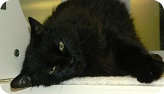 Domestic Longhair Cat for adoption in Cheyenne, Wyoming - Luna