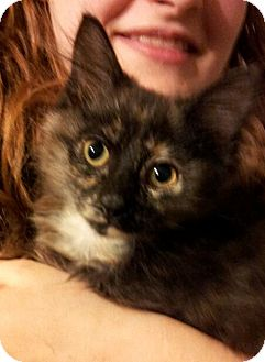 Domestic Shorthair Kitten for adoption in St. Louis, Missouri - Tallis