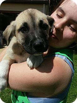 Australian Shepherd/Siberian Husky Mix Puppy for adoption in South Jersey, New Jersey - Frank