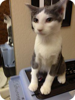 Domestic Shorthair Kitten for adoption in Fountain Hills, Arizona - ODYSSEUS