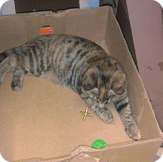 American Shorthair Cat for adoption in Acworth, Georgia - Sparkles (aka Sparky)