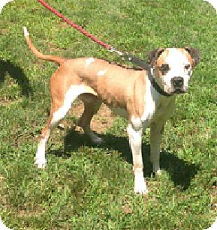Boxer Mix Dog for adoption in Wilmington, Massachusetts - Kadir