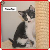 Adopt A Pet :: Smudge - Miami, FL