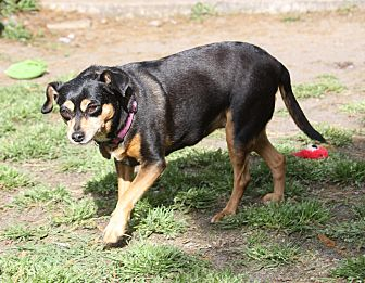 Miniature Pinscher Mix Dog for adoption in Summerville, South Carolina - Prissy