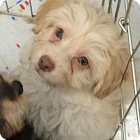 Adopt A Pet :: Sterling - Algonquin, IL