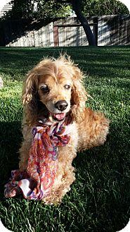 Cocker Spaniel Dog for adoption in Santa Barbara, California - Maddie