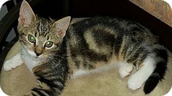 Domestic Shorthair Kitten for adoption in Lebanon, Pennsylvania - Tilly