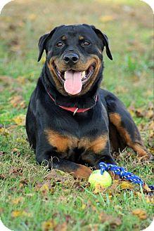 Rottweiler Mix Dog for adoption in Frederick, Pennsylvania - Pheme