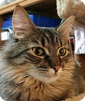 Domestic Mediumhair Cat for adoption in Meridian, Idaho - Gemma