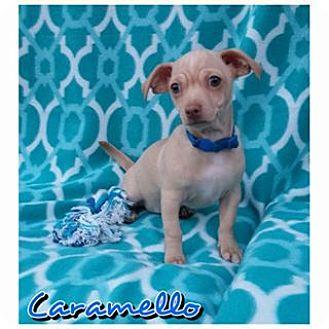 Chihuahua Mix Puppy for adoption in Charlotte, North Carolina - Caramello