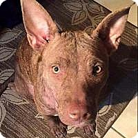 Adopt A Pet :: Molly - New Smyrna Beach, FL