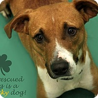 Adopt A Pet :: Noggin - Hanover, PA