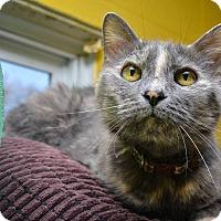 Domestic Shorthair Cat for adoption in Pittsburg, Kansas - Pretty Kitty