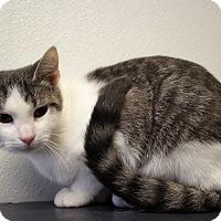 Adopt A Pet :: Munchkin - Martinsville, IN