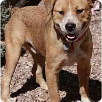 Adopt A Pet :: Boomer - Gilbert, AZ