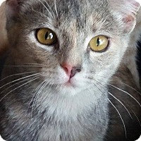 Domestic Shorthair Cat for adoption in Ocean Springs, Mississippi - Oppie