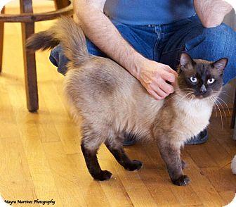Siamese Cat for adoption in Huntsville, Alabama - Murphy