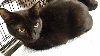 Domestic Shorthair Cat for adoption in Columbus, Ohio - Alyx
