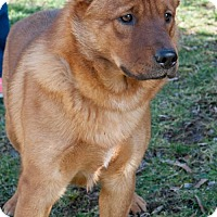 Shepherd (Unknown Type)/Finnish Spitz Mix Dog for adoption in Versailles, Kentucky - Oliver