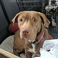 Adopt A Pet :: Penelope - Covington, TN