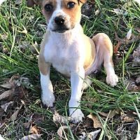 Adopt A Pet :: Lil Bit - Plainfield, CT