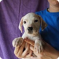 Adopt A Pet :: Pumkin - Oviedo, FL