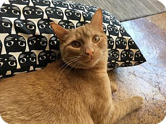 Domestic Shorthair Cat for adoption in St. Louis, Missouri - Jackson