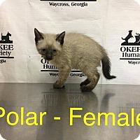 Siamese Kitten for adoption in Waycross, Georgia - Polar