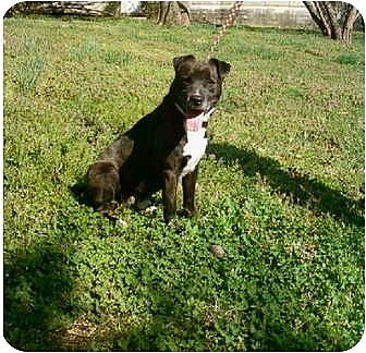American Bulldog Mix Dog for adoption in Cookeville, Tennessee - Hank