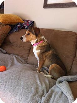 Beagle Mix Dog for adoption in Windham, New Hampshire - Maizey-I'm in New England!