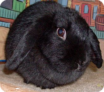Lop, Holland Mix for adoption in Foster, Rhode Island - Poe