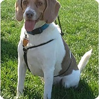 Adopt A Pet :: Peyton - Indianapolis, IN