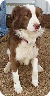 Border Collie/Australian Shepherd Mix Dog for adoption in San Pedro, California - IVAN