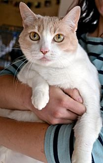 Domestic Shorthair Cat for adoption in Johnson City, Tennessee - Bess