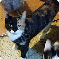 Calico Cat for adoption in Warren, Michigan - Taliana
