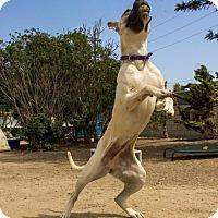 Belgian Malinois Mix Dog for adoption in Seal Beach, California - Sasha
