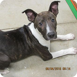 American Staffordshire Terrier Mix Dog for adoption in BLACKWELL, Oklahoma - Mickie