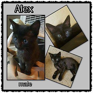 Domestic Shorthair Kitten for adoption in Richmond, California - Alex