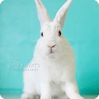 Adopt A Pet :: Rutabaga - Reisterstown, MD