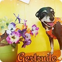 Adopt A Pet :: Gertrude - Odessa, TX