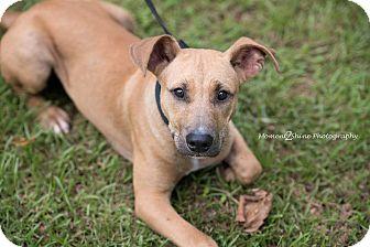 Shepherd (Unknown Type)/Bulldog Mix Dog for adoption in Daleville, Alabama - Jack